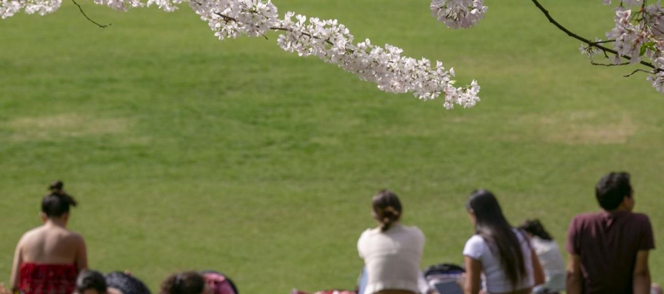 Students sit on a lawn with a blooming cherry tree branch above them